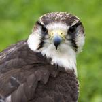 International Centre for Birds of Prey, Helmsley